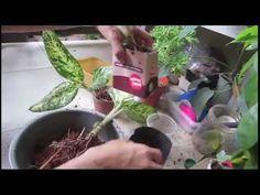 Cómo trasplantar Dieffenbachia / Dumb Cane - YouTube Dumb And Dumber, Tutorials, Gardening, Youtube, Plants, Indoor Plants, Lawn And Garden, Plant, Youtubers