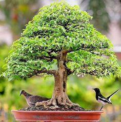 "417 Likes, 2 Comments - Rony ribeiro (@ronnyslash) on Instagram: ""#bonsai #trees"""