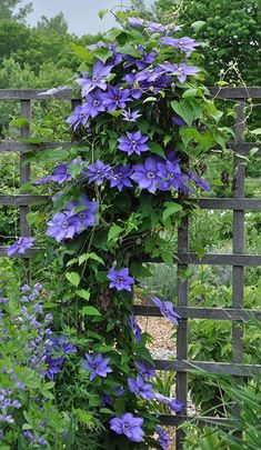 Flower Garden dener should know the pleasure of growing clematis. If you already have one in your garden, you're probably scheming about how to squeeze in another! New to clematis? - New to clematis? Learn everything you need to grow this flowering vine. Climbing Clematis, Clematis Trellis, Clematis Plants, Vine Trellis, Climbing Vines, Climbing Flowering Vines, Climbing Plants Fast Growing, Trellis Ideas, Small Gardens