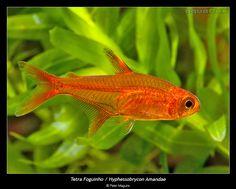 Can be kept w betas!! Hyphessobrycon amandae - Ember Tetra
