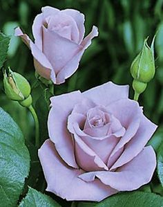 Blue Moon Rose - Click image to find more Gardening Pinterest pins