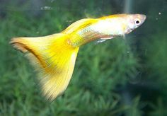 Yellow Guppy  Yellow guppies are a striking strain that are genetically gold.  The intense yellow color of these fish is difficult to maintain, as are their fins.