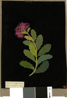 sedum.paper collage by mrs Mary Delaney
