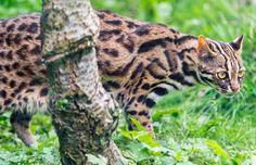Leopard cat - 15 Pictures (7)
