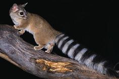 The Ringtail (Bassariscus astutus) is a mammal of the raccoon family (thus not actually a cat), native to arid regions of North America.
