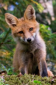 Red Fox Cub by Michael Pettersson