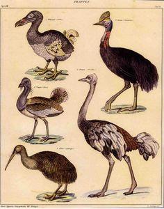 Vintage illustration of Ratites, Bustard and Dodo