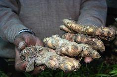 Tips on harvesting ginger root
