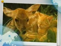 ▶ cat_deer.wmv - YouTube. Music by Louis Armstrong - 'What a Wonderful World.'