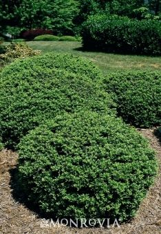 Soft Touch Compact Holly (Ilex crenata Soft Touch) - A dense soft-textured evergreen shrub with soft, glossy green leaves that have an interesting silver midvein. Works wonderfully planted in borders, as an accent, or along walkways. Black berries last all winter for cool season interest.