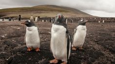 5/19/17 Penguins that found sanctuary in a minefield may be threatened by demining campaign