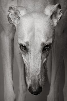 """""""Early retirement"""", 'Gable'- Greyhound, © photograph by Piotr Organa"""