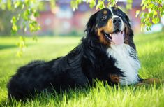 Bernese mountain dog: one of 5 best calm dog breeds Bernese Mountain Dog Breeders, Mountain Dog Breeds, Calm Dog Breeds, Best Dog Breeds, Dog Photos, Dog Pictures, Tibet Terrier, Best Dogs For Kids, Pet Dogs