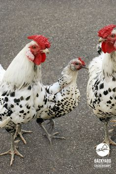 A Hamburg hen standing in between two Hamburg roosters Fancy Chickens, Chickens And Roosters, Pet Chickens, Raising Chickens, Chicken Life, Chicken Eggs, Backyard Chicken Coops, Chickens Backyard, Beautiful Chickens