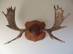 Vintage Moose Antler Mount by ManCaveVintageMarket