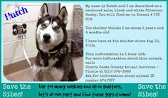 Love is being owned by a husky!: Save the Sibes!