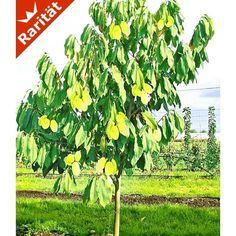 HÄBERLI'S Indianer-Banane® Prima®- veredelte Sorte, 1 Pflanze - BALDUR-Garten GmbH