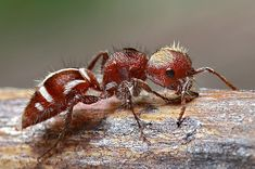 Red velvet ant by Chris Lukhaup, via Flickr