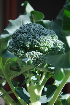 How to Grow Broccoli In Containers