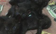 Bebês gatinhos lindos estão para adoção em Bauru