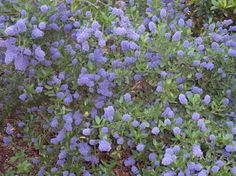 Lots of Oregon native Ceanothus shrub species. http://www.portlandnursery.com/plants/natives/ceanothus.shtml