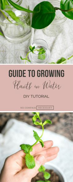 The ultimate guide to growing plants in water from plant and herb clippings DIYtutorial DIY gardening growingherbs indoorgarden hydroponics Hydroponic Farming, Hydroponic Growing, Hydroponic Gardening, Gardening Tips, Indoor Gardening, Aquaponics, Organic Gardening, Urban Gardening, Vegetable Gardening