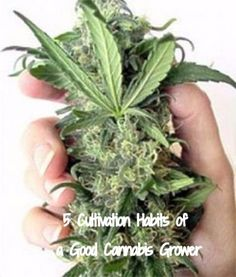 5 Cultivation Habits of a Good Cannabis Grower
