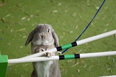 Rabbit Show Jumping - this is the most adorable thing of all time