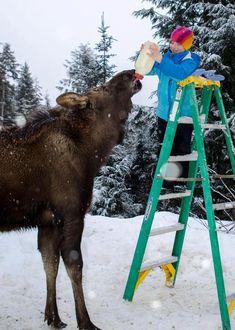 "Orphaned moose ""Karen"" ♥. don't know whats cuter, the little girl or a moose named Karen."