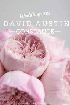 from David Austin. Find David Austin Roses, Meilland and other Luxury (scented) garden roses at Beautiful Roses, Beautiful Flowers, Romantic Roses, Roses David Austin, David Austin Roses Bouquet, Garden Rose Bouquet, Roses Garden, Fruit Garden, Rose Varieties