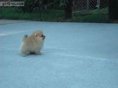 8-week-old omerian puppy