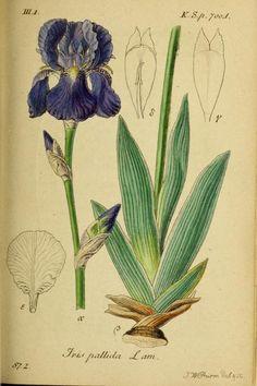 Iris pallida Lamarck. Plate from 'Deutschlands Flora in Abbildungen Nach der Natur' by Jacob Sturm(1798). Harvard Botany Libraries archive....