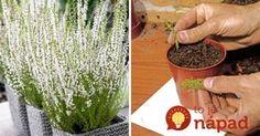 Čas vresov je tu: Takto vám vydržia krásne celé roky+najjednoduchší spôsob, ako ich rozmnožiť! Herbs, Gardening, Vegetables, Flowers, Plants, Outdoor, Balcony, Outdoors, Lawn And Garden