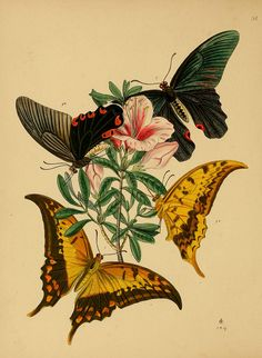 Artfully Musing: Butterfly Images for Your Art – Fourth and Last Set 3 of 9 By Laura Carson Art And Illustration, Illustration Papillon, Gravure Illustration, Illustration Botanique, Butterfly Illustration, Green Butterfly, Vintage Butterfly, Butterfly Art, Butterflies