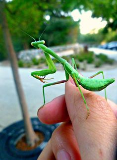 Mr.Mantis by OnePiece4Life.deviantart.com