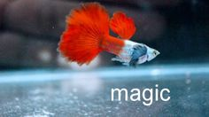 Guppies are a very easy-to-breed fish species. Here is Different Types of Guppies In The World Guppy, Colorful Fish, Tropical Fish, Beautiful Fish, Beautiful Pictures, Otters Cute, Fish Breeding, Fish For Sale, Fish Care
