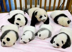 sweet baby pandas! :)