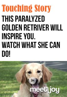 Joy the Golden Retriever is one special dog! #dogs #pets #inspirational  She needs a special family.