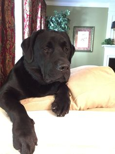 Labrador Retriever.... Is that a lab or a bear?  Lol love him! I always pick lab puppies that turn into beasts!