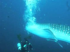 Whale Shark attacks diver - YouTube