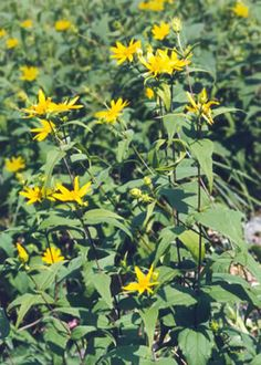 """Wildflowers of Western Pennsylvania: Helianthus divaricatus A slender, smooth, simple-stemmed 2-6' plant. The opposite, sessile or short-stalked leaves are lance-shaped to ovate, toothed, rough above and hairy beneath. The 2"""" yellow flowers are few or solitary and have 8-15 rays. The lance-shaped, hairy bracts are loose and often sweptback. Blooms July-September in dry open woods, thickets."""