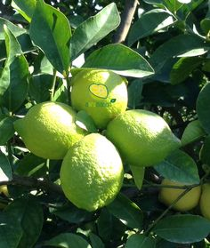 Limoni biologici 100%