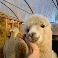 How to Start an Alpaca Farm? Alpacas can be a good addition to a farm. They can be reared as an alternative livestock project. They fit well in the diverse farming process. Cute Little Animals, Cute Funny Animals, Alpacas, Nature Animals, Animals And Pets, Wild Animals, Fluffy Cows, Photographie Portrait Inspiration, Cute Alpaca