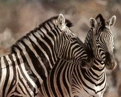 Wild African Safari Striped Zebra Wall Picture Art Print: A high-quality home decor wall picture which represents the best of both worlds: quality and affordability. Zebra Pictures, Wild Animals Pictures, Animal Pictures, Animals In The Wild, Amazing Animals, Animals Beautiful, Adorable Animals, Beautiful Creatures, Picture Frame Art