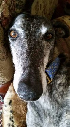 It's so easy to get mesmerized and lost in greyhound eyes... Navi, fka Jade, has an old soul. #greyhounds
