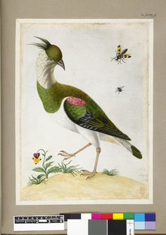The Lapwing (?), bird with crest, green and white plumage, touched with pink, with examples of a beetle and fly and a yellow and pink-flowered plant, from an album of 91 drawings entitled 'Merian's Drawings of Surinam Insects &c', 1701/05, Maria Sibylla Merian (1647-1717)