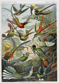Hummingbirds, by Prof. Dr. Ernst Haeckel. Germany, Mid-19 century