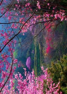 +: Inspirational Nature / cherry blossom forest