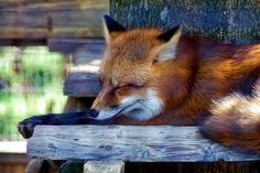 Where do Foxes Sleep? Sleeping Behaviors of Foxes Sleep Curls, Fox Information, Young Fox, Watch Fox, Take Shelter, Fennec Fox, Grey Fox, Sleeping Under The Stars, Fox Hunting