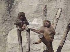 Maszat (hamadryas baboon) eats muesli
